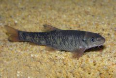 Rybička Garra rufa
